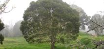 Curly Koa Tree