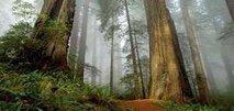 Redwood Burl Tree