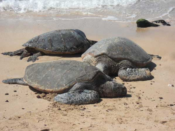 Turtle-Beach-Oahu