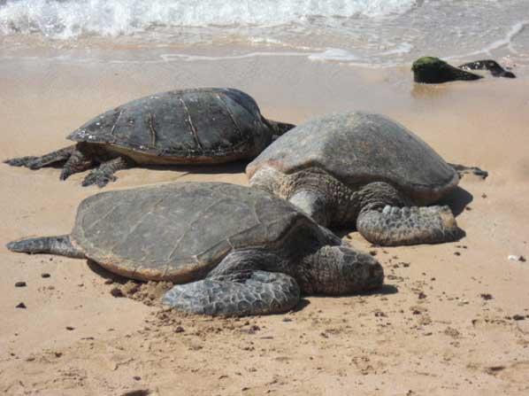 Turtle-Beach-Oahu